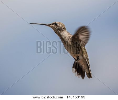 Humming bird flying against the sky background.