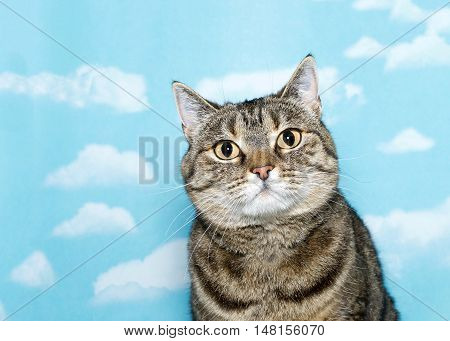 Portrait of Black grey and white tabby cat with very round face tilted slightly inward looking directly at viewer. Blue background sky with white clouds. Copy space.