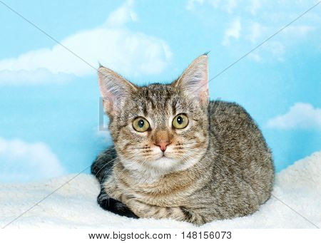 Black brown and white tabby kitten curled up relaxing on a fleece blanket looking directly at viewer. Blue background sky with white clouds. Copy space.