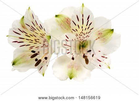 Alstroemeria nature colorful on a white background