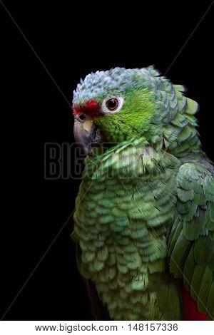 Crimson Fronted Parakeet - Psittacara Finschi