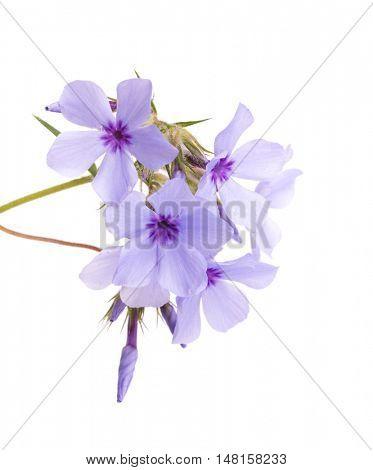 Beautiful blue Phlox blooms, on white