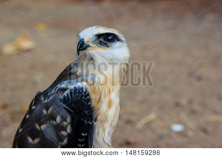 Portrait of a young falcon in a basket