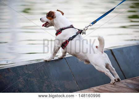 Jack Russell terrier wearing dog harness next at water background