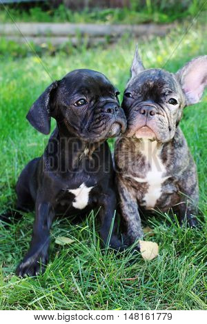 Best friend puppies. French bulldog puppies cuddle up close in the green grass.