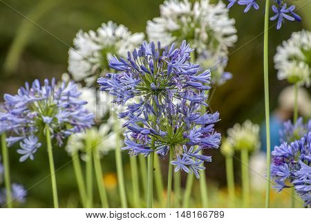 Blue violet flowers background in the garden