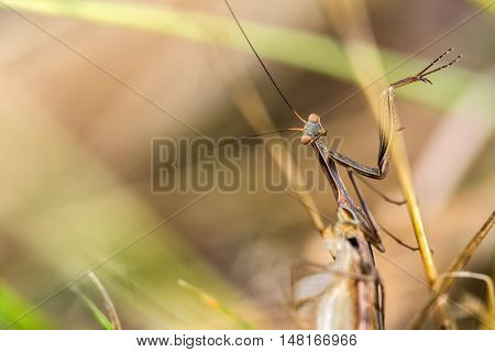 Detail On A Brown Variant Of A Mantis Religiosa - Common Name Praying Mantis