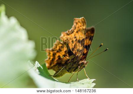 The Comma (polygonia C-album) Resting On Leaf