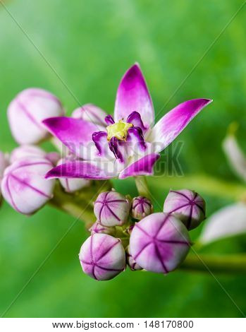 Vibrantly colored Milkweed flower on green abstract background