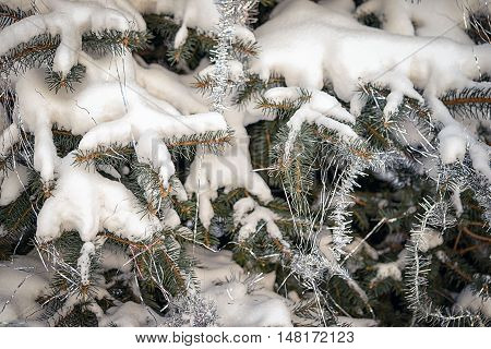Green prickly branches of a fir-tree and snow