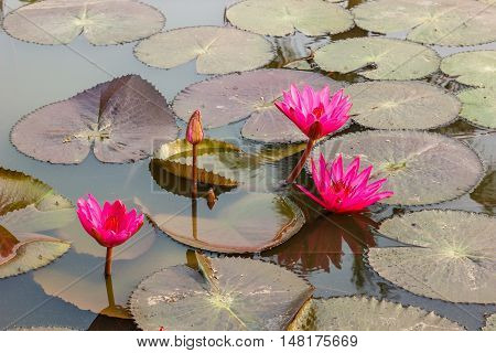 pink waterlily or lotus flower blooming in the pond