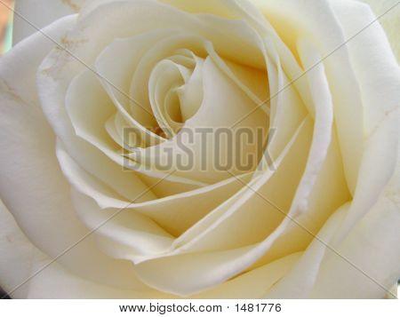 Brides Rose