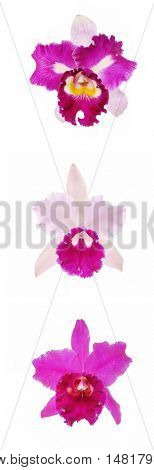 Blossoming three cattleya Orchids