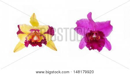 Blossoming two Orchids  cattleya
