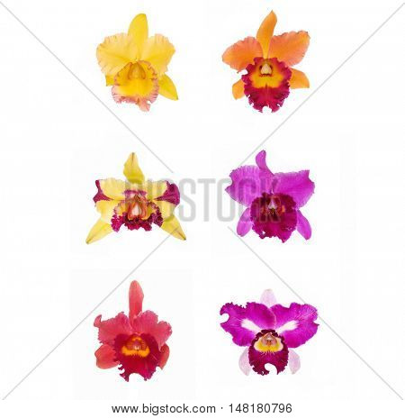 Blossoming cattleya six orchid