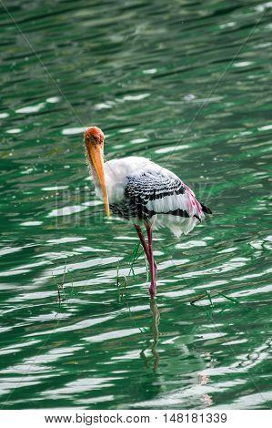 Beautiful yellow billed stork perching in water looking at camera