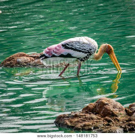 Beautiful yellow billed stork perching in water