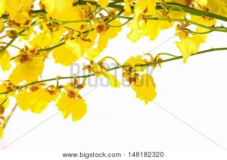 bright yellow Oncidium orchid; whole flowering spike; isolated