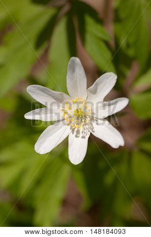 white blooming anemone close up in spring