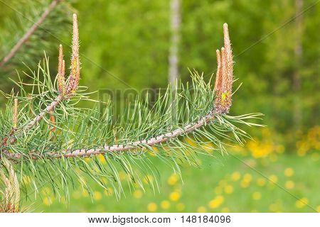 Blossoming branches of a pine in the spring closeup