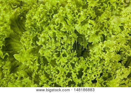 Close up above view studio shot of green leaves patterns and textures of lettuce plant on white background