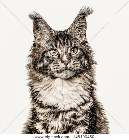 Close-up of a Maine Coon cat looking away isolated on white