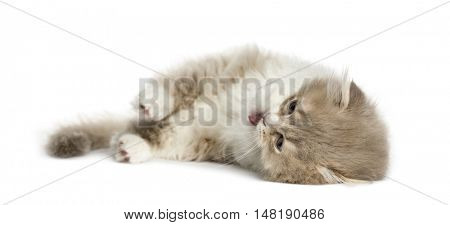 Young Highland Fold kitten lying on his side isolated on white