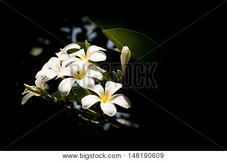 The White plumeria flowers with black background.