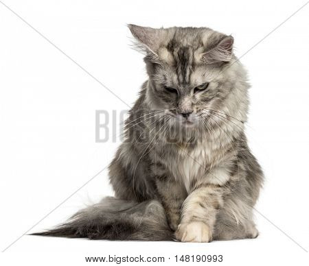 Front view of a Maine Coon cat looking down isolated on white