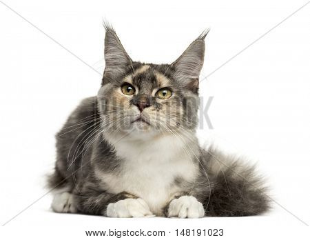 Front view of a Maine Coon cat lying down isolated on white