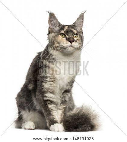 Front view of a Maine Coon cat sitting isolated on white