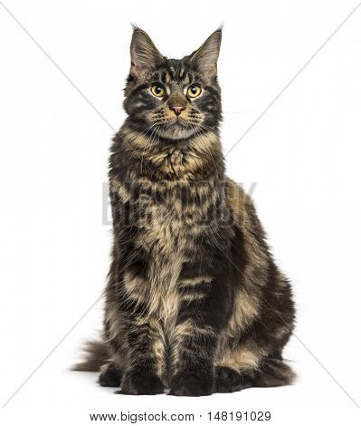 Front view of a Maine Coon cat sitting and looking up isolated on white