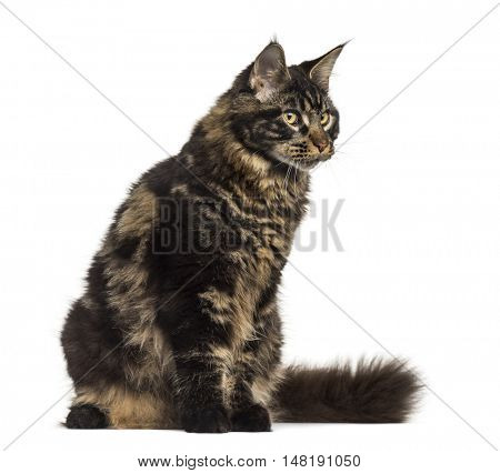 Side view of a Maine Coon cat sitting and looking away isolated on white