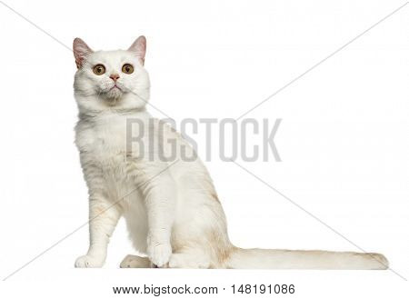 Side view of a British Shorthair cat sitting isolated on white