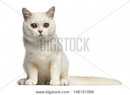 Front view of a British Shorthair cat sitting isolated on white