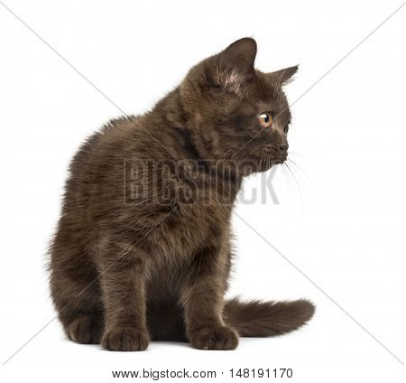 Front view of a Young British Shorthair kitten sitting isolated on white