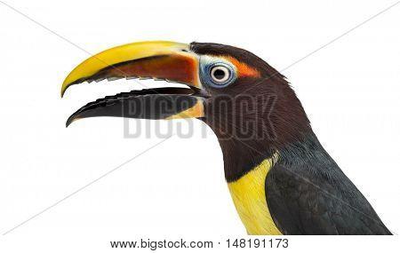 Close up of a Green aracari, Pterogossus Viridis opening his beak isolated on white