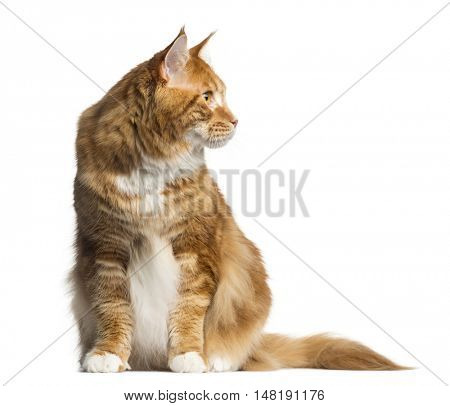Front view of a Maine Coon cat sitting and looking away down isolated on white