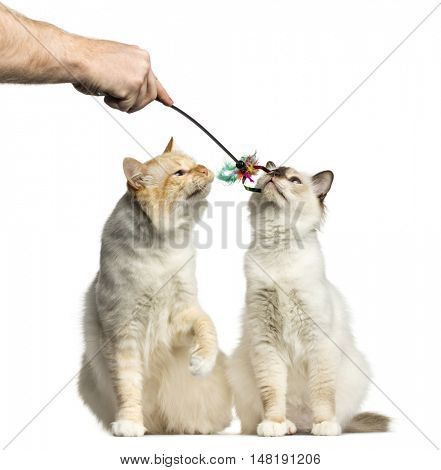Two Birman cats smelling a stick toy isolated on white