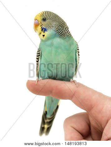 Budgerigar parakeet perched on a finger isolated on white