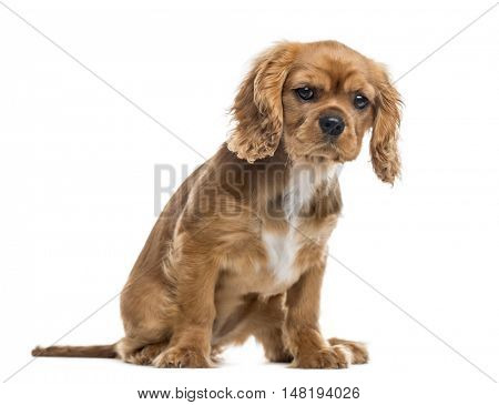 Cavalier King Charles Spaniel puppy, 3 months old, sitting and looking at camera, isolated on white