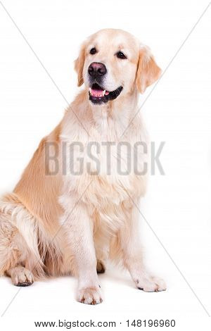 Portrait of golden retriever, isolated on white