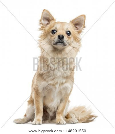 Chihuahua, 11 months old, sitting and looking at camera, isolated on white