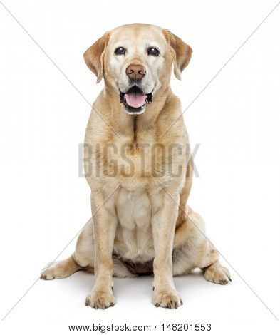 old Labrador Retriever, 11 years old, sitting and looking at camera, isolated on white