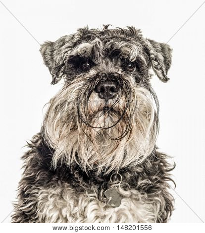 Close-up of Miniature Schnauzer, 2 years old, looking at camera, isolated on white