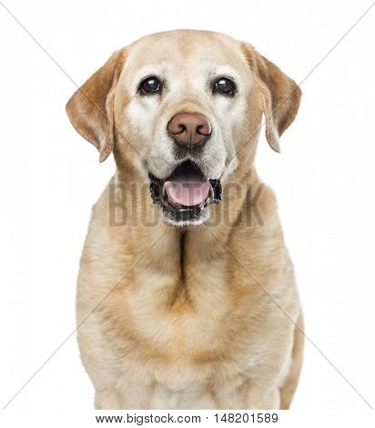 Close-up of Labrador Retriever, 11 years old, looking at camera, isolated on white