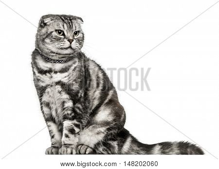 Scottish Fold, sitting and looking away from camera, isolated on white
