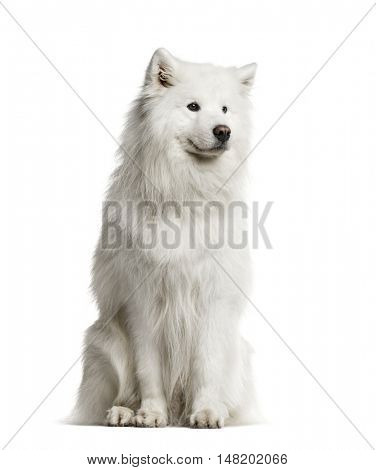 Samoyed, 6 years old, sitting and looking away from camera, isolated on white