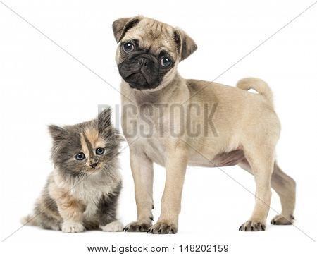 Pug puppy, 3 months old, and European Shorthair kitten, 1 month old, together isolated on white