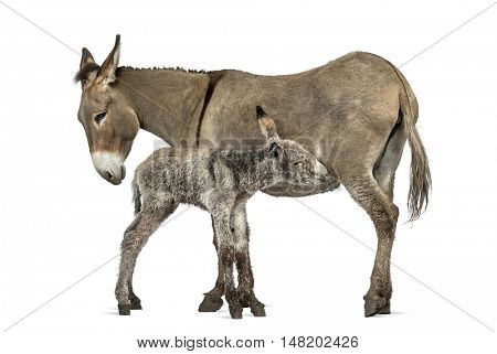 Mother provence donkey and her foal feeding isolated on white